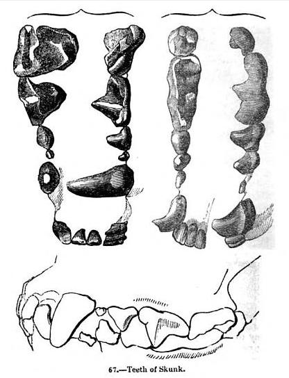 Animaldentition mephitismephitis