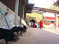 Animals for sacrifice at Kamakhya temple, Guwahati, Assam.jpg