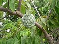 Annona squamosa (Martinique).jpg