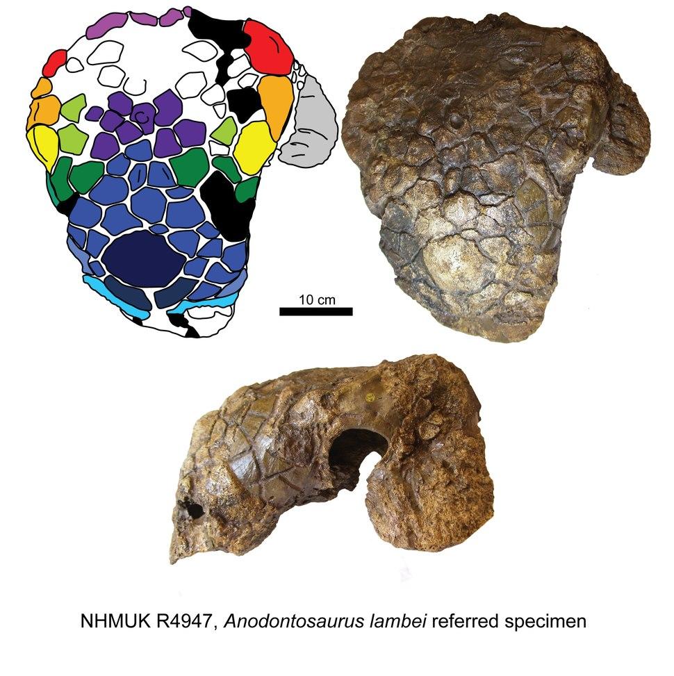 Anodontosaurus NHMUK R4947