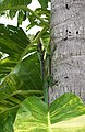 Anolis equestris - camouflage.jpg