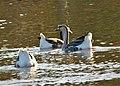Anser cygnoides - Swan Goose. (domesticated) (49378742556).jpg