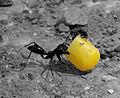 Ant with corn.jpg