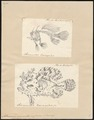 Antennarius marmoratus - 1700-1880 - Print - Iconographia Zoologica - Special Collections University of Amsterdam - UBA01 IZ13600211.tif