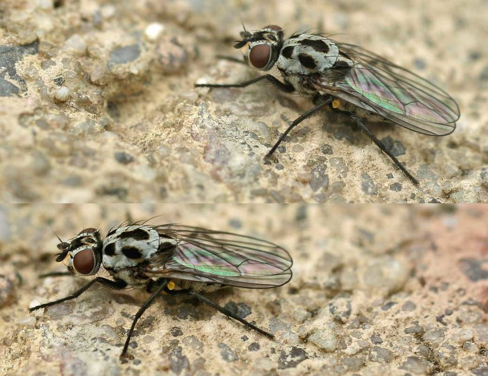 Anthomyia pluvialis01