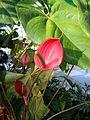 Anthurium andraeanum (2).JPG