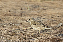 Anthus spinoletta Water Pipit.jpg