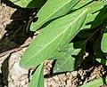 Anthyllis vulneraria in Chablais (3).jpg