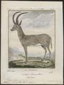 Antilope leucophaea - 1700-1880 - Print - Iconographia Zoologica - Special Collections University of Amsterdam - UBA01 IZ21400049.tif