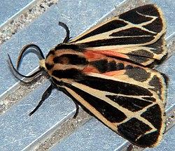 definition of arctiidae