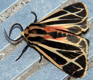 Arctiinae (moth) subfamily of insects (in the wide sense, the former family Arctiidae)