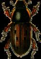 Aphodius conspurcatus Jacobson.png