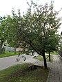 Apricot tree, 2019 Kiskunhalas.jpg