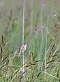 Aquatic warbler - Waterrietzanger - Acrocephalus paludicola.jpg
