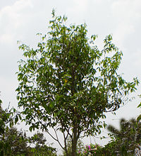 Aquilaria tree