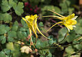 Aquilegia chrysantha 'Yellow Queen'.jpg