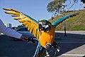 Ara ararauna -pet -wings open-8a.jpg
