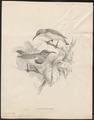 Arachnothera rhizophorae - 1876-1880 - Print - Iconographia Zoologica - Special Collections University of Amsterdam - UBA01 IZ19000169.tif