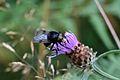 Araignées, insectes et fleurs de la forêt de Moulière (Les Chirons Noirs) (28757742970).jpg