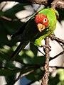 Aratinga erythrogenys -San Francisco -feral parrot-8.jpg