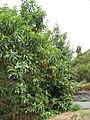 Arbutus canariensis1.jpg