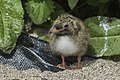 Arctic Tern chick - Farne Is - FJ0A3857 (35525541483).jpg