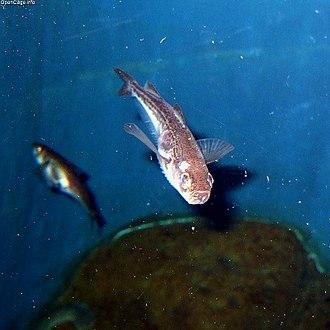 Arctoscopus japonicus - Image: Arctoscopus japonicus
