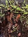 Arcyria ferruginea Saut 602378.jpg