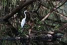 Ardea alba in mangrove.jpg