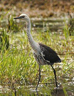 White-necked heron species of bird