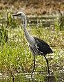 Ardea pacifica -Edithvale Wetland, Melbourne, Australia-8.jpg
