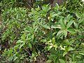 Ardisia solanacea (5597295027).jpg