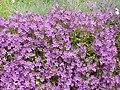 Arenaria procera glabra1.jpg