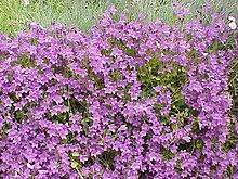Campanula wikipedia la enciclopedia libre for Plantas ornamentales wikipedia