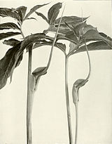 Arisaema dracontium WFNY-f002.jpg