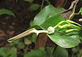 Aristolochia indica 10.jpg
