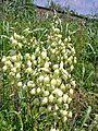 Arkansas Yucca (Yucca Arkansana) (4617871936).jpg