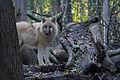 Arktischer Wolf Canis lupus arctos Wien Tiergarten Schönbrunn.jpg