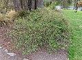 Aronia melanocarpa, Christchurch Botanic Gardens, Canterbury, New Zealand 13.jpg
