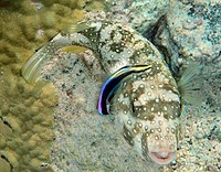 Arothron hispidus is being cleaned by Hawaiian cleaner wrasses, Labroides phthirophagus 1.jpg