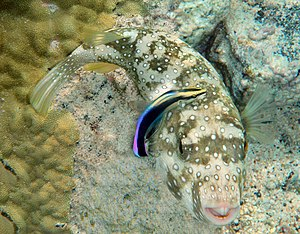 Cleaner fish - A disruptively patterned white-spotted puffer being cleaned by a conspicuously coloured hawaiian cleaner wrasse