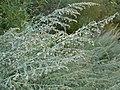 Artemisia absinthium (4999002102).jpg