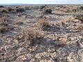 Artemisia pygmaea (6846943270).jpg
