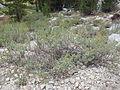 Artemisia rothrockii (7832381636).jpg