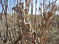 Artemisia tridentata wyomingensis (5041552669).jpg