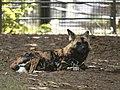 Artis Afrikaanse Wilde Hond (36376465762).jpg