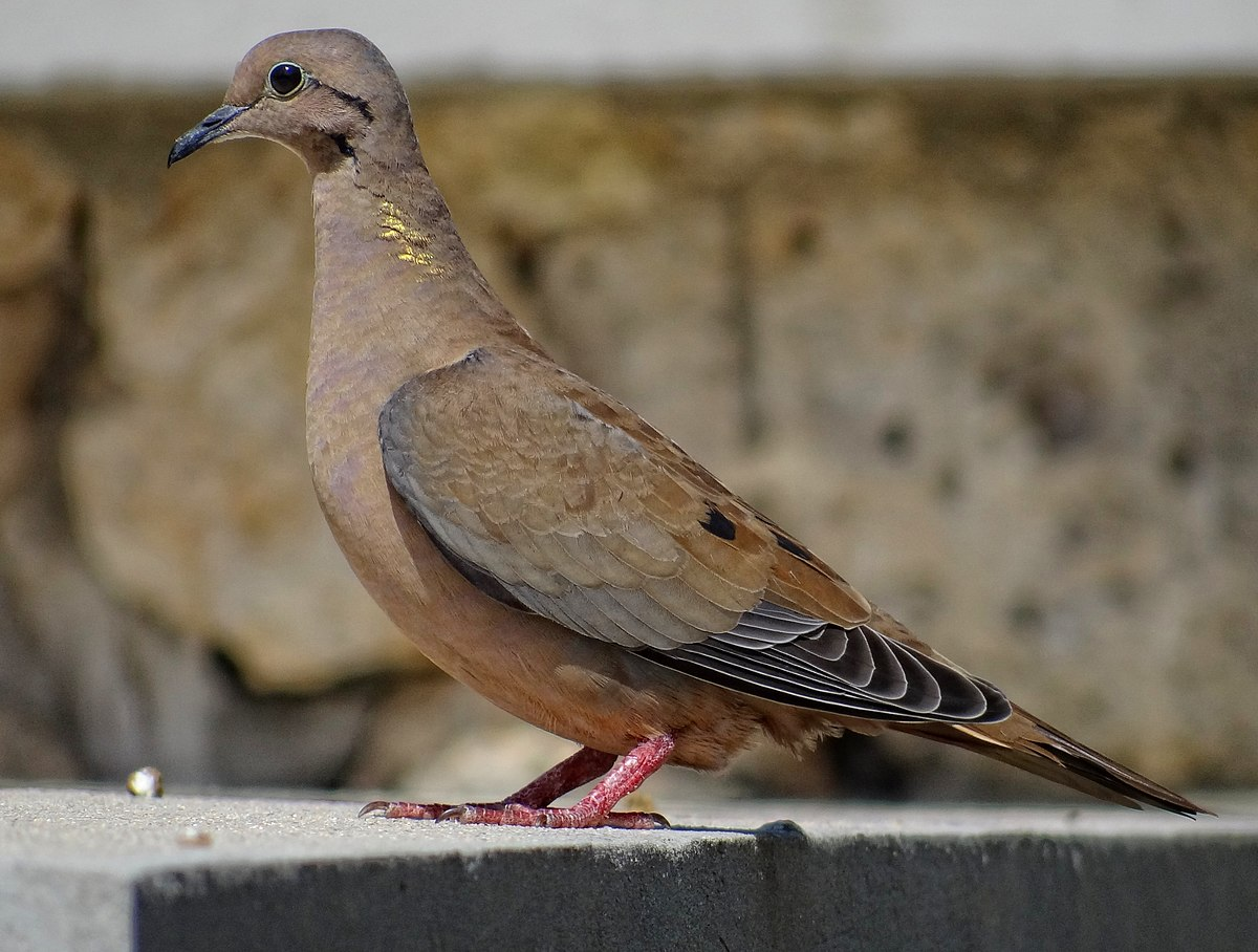 Eared dove - Wikipedia