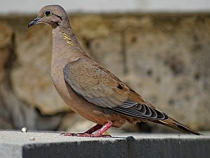 Eared dove - In Oranjestad, Aruba