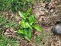 Arum maculatum 116970563.jpg
