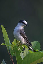 Ashy Minivet by Jason Thompson (Cropped).jpg